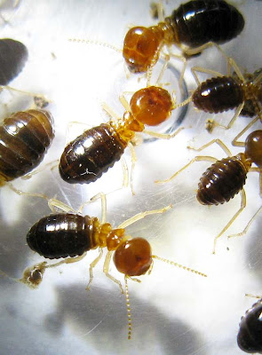 Major workers of this large Nasutitermes species