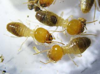 Odontotermes longignathus