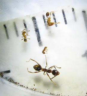 Size comparison of Pheidole species