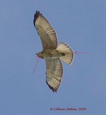 STOKES BIRDING BLOG: September 2011