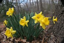 March Daffodils