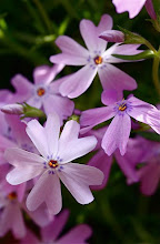 April Creeping Phlox