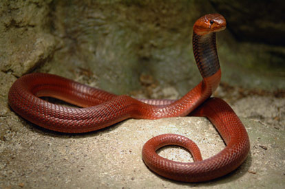 National Geographics: red cobra snake