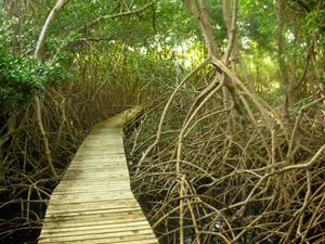 [mangrove_swamp_tobago.jpg]