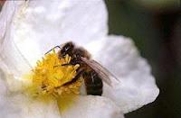 Abeja de la miel en medicinas y medicamentos