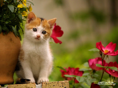 gambar wallpaper download gambar wallpaper kucing lucuo