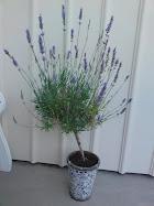 Lavendelträd