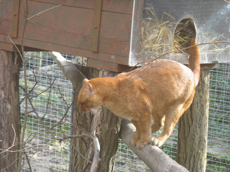 The Gulf Coast Jaguarondi (Puma yagouaroundi cacomitli) (non è un gatto! ...quasi) dans animali affascinanti 800px-Jaguarondi_2