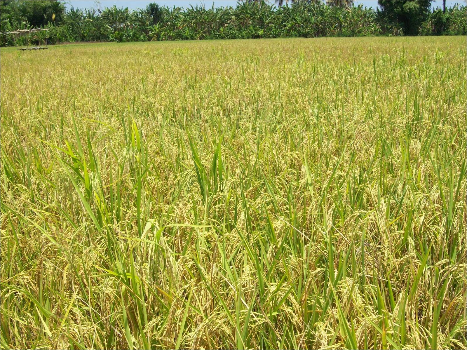 Elsar Nagekeo Institut Potensi Pertanian Perkebunan Dan Kehutanan