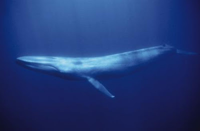 A Blue Whale is classified as