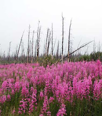 Fireweed After the Fire