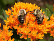 bumblebees on a butterfly weed