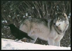 ravenwolfsong