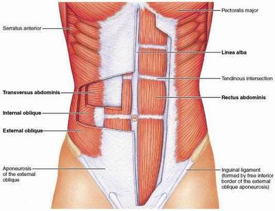 Abs Anatomy, anatomy of the abs, abs diagram, abdominal anatomy, ab parts
