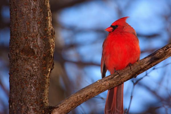 Le nid du cardinal le vent se presse ma fen tre for Fenetre a cardinal