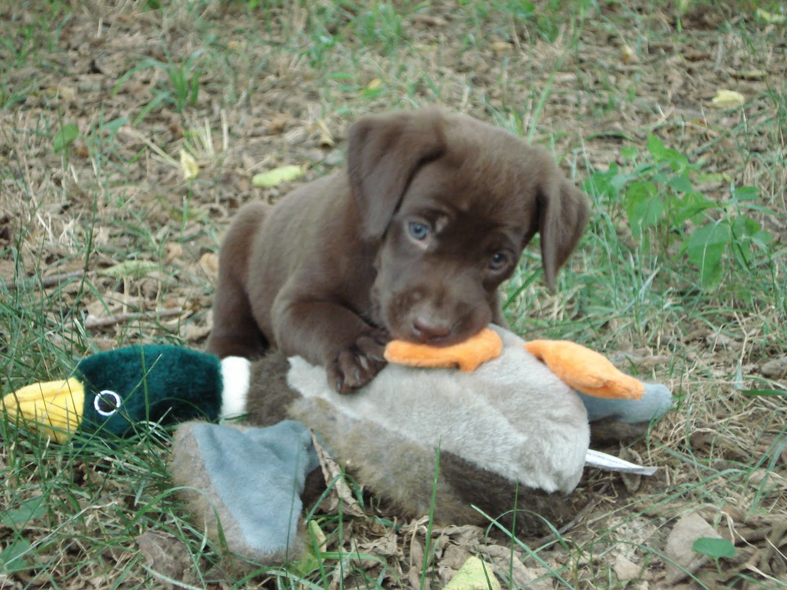Image Gallery lab puppies hunting