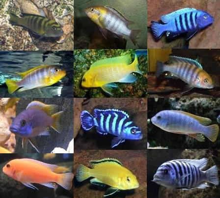 C clidos africanos melanochromis auratus taringa for Clases de peces de acuario