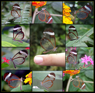 dd6733 Transparent Butterfly   Seeing is Believing