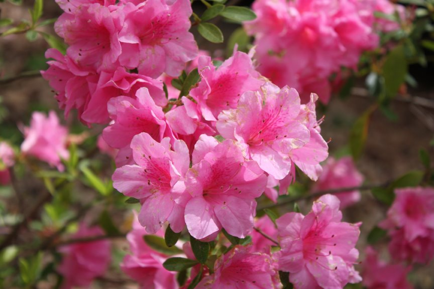 Azaleas in East Texas