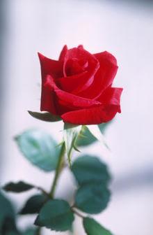 Um botão para uma rosa - Por Luiz Alpiano Viana / Sobradinho DF