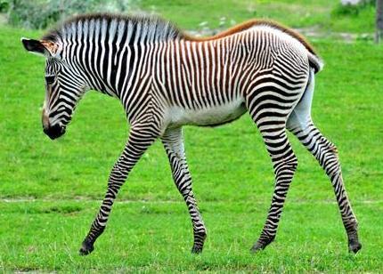 Foto de una cebra o zebra