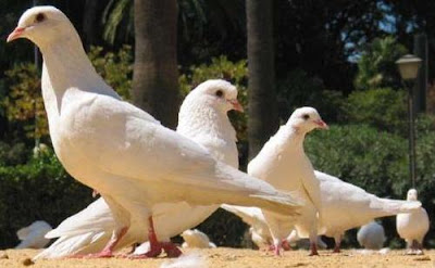 Foto de palomas blancas