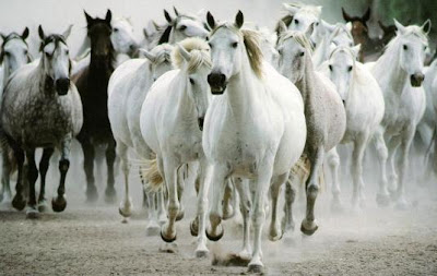 Varios Caballos corriendo