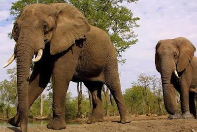 Elefantes caminando