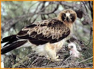 Aguila con su cria bebé