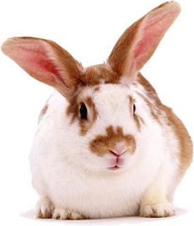Conejo hermoso