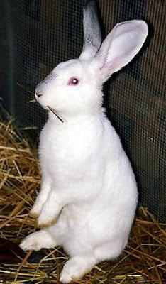Conejo blanco parado