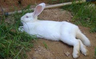 Conejo echado de barriga