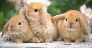 Conejo con las orejas caídas