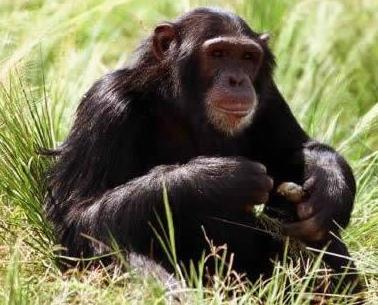 Chimpancé sentado