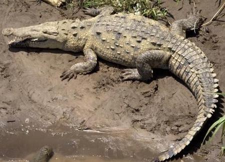 Foto del cocodrilo