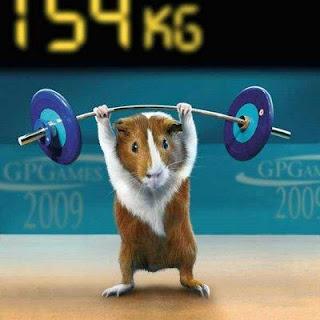 Cuy haciendo ejercicio