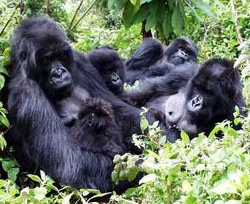 Gorilas recostados en el bosque