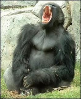 Gorila abriendo la boca