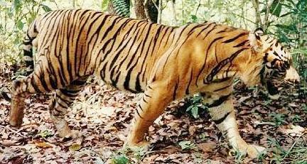 Tigre caminando por el bosque