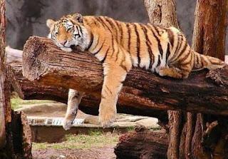 Tigre durmiendo tirado en una rama