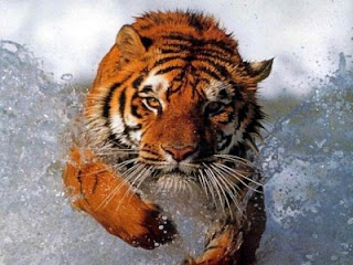 Tigre en el agua