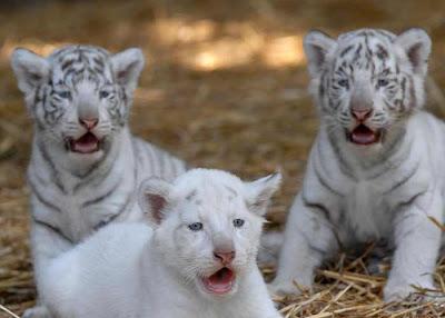 Tigres cachorros o pequeños