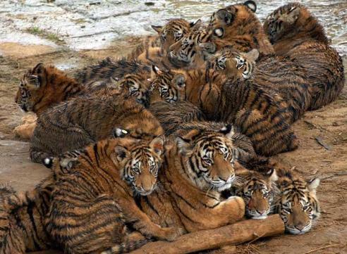 Tigres en manada