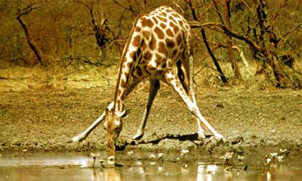 Jirafa tomando agua