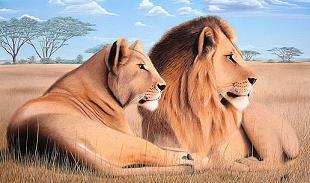 Dibujo de leones macho y hembra