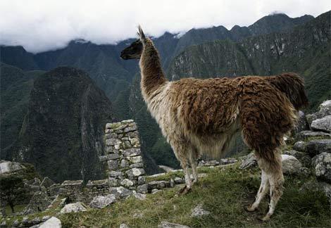 Foto de llama en Cuzco