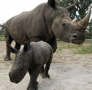 Rinoceronte hembra con su cría