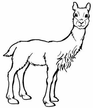 Dibujo de la vicuña para colorear o pintar