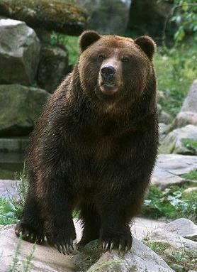Foto de un oso oscuro