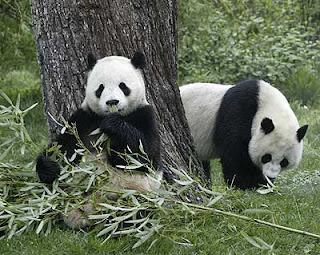 Osos Panda en el bosque
